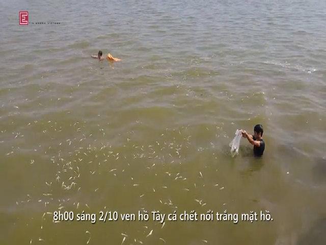 Cá hồ Tây chết bốc mùi, trắng mặt nước