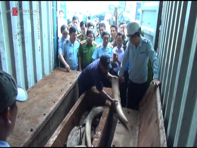 Cảnh sát khui lô ngà voi trăm tỷ trong thân gỗ