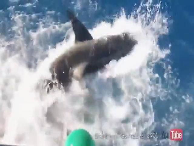Cá mập trắng dài 4 m đói mồi chui vào lồng thợ lặn