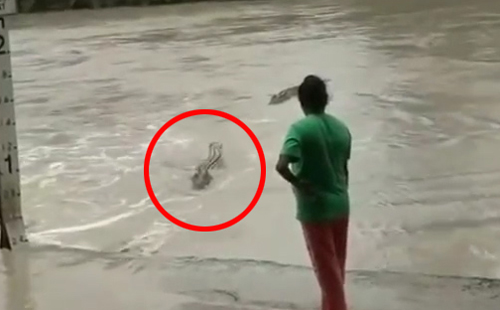 Cá sấu khổng lồ thoái lui khi bị người phụ nữ cầm dép tông de dọa