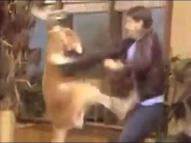 Kangaroo tấn công người dạy thú trong show truyền hình