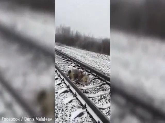 Chó quyết không bỏ bạn mắc kẹt trên đường ray