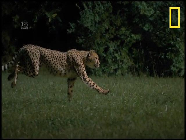 Báo đốm nhanh nhất thế giới qua đời ở vườn thú Mỹ