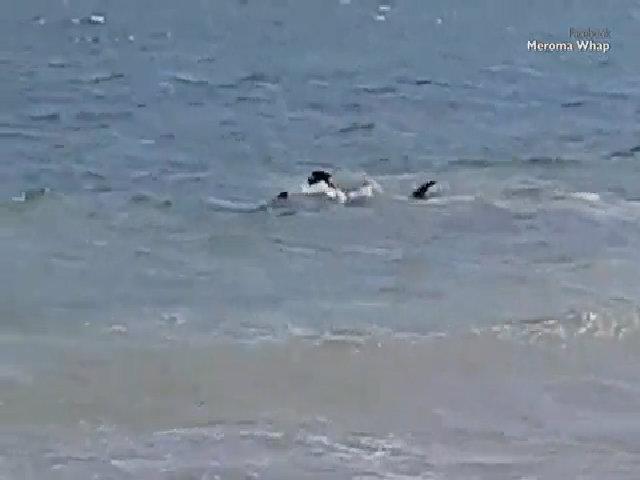 Chó bơi đuổi theo cá mập hổ to gấp 6 lần ở Australia