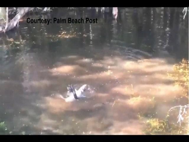 Trăn mốc dài hơn 4 mét siết chết cá sấu ở Mỹ