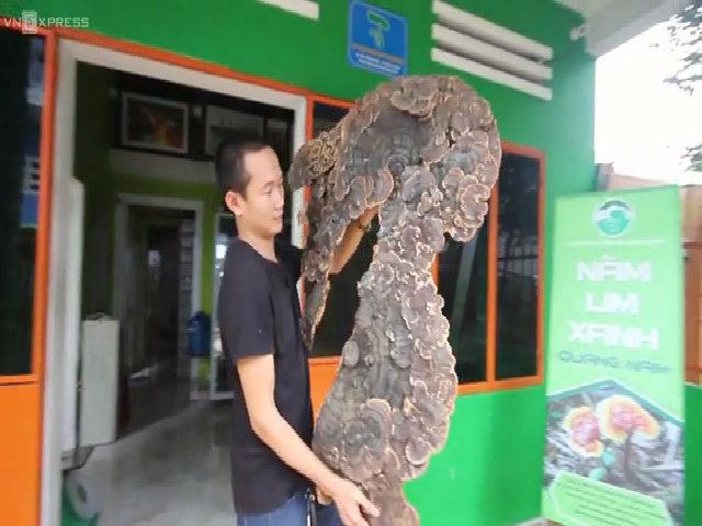 Nấm linh chi tự nhiên 'khủng' hình bản đồ Việt Nam