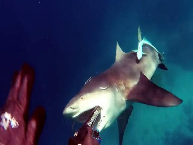 Thợ lặn Australia suýt bị cá mập bò đớp gọn