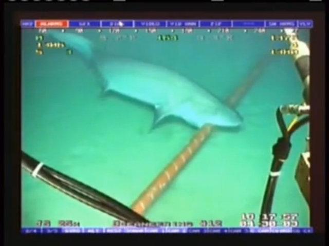 Lý do cá mập thích cắn sợi cáp quang