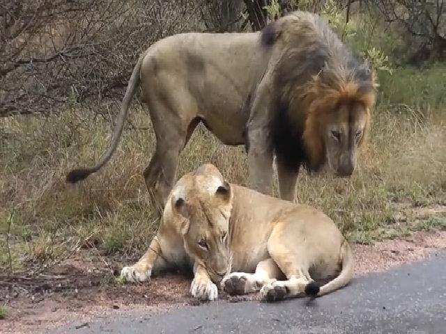 Gạ giao phối ven đường, sư tử đực suýt bị con cái tát