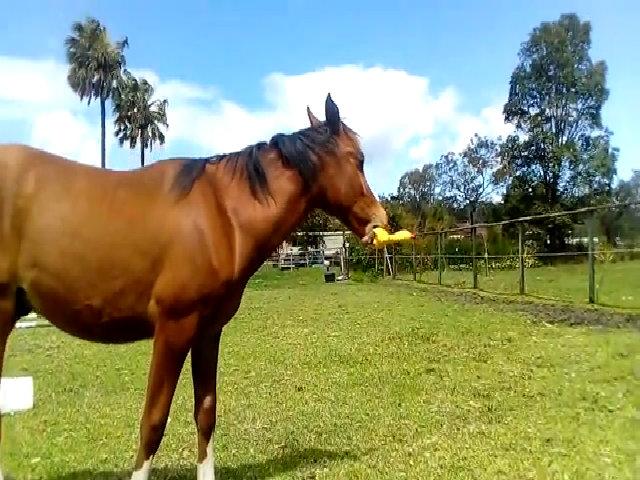 Ngựa non gặm gà cao su như chơi nhạc