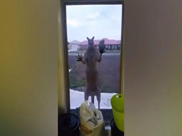 Kangaroo giận dữ đập cửa, đòi xông vào nhà dân ở Australia