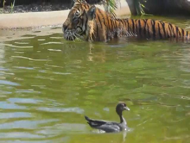 Vịt thản nhiên đùa giỡn trước mặt hổ dữ