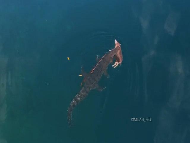 Cá sấu khổng lồ ngoạm xác lợn bơi ngang đại dương