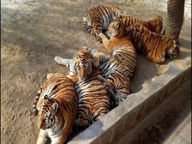 Sư tử và hổ béo núc ních trong vườn thú Trung Quốc
