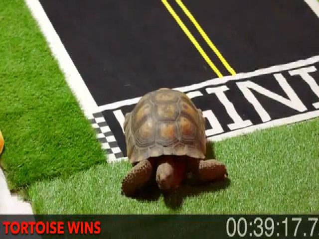 Rùa chạy đua thắng thỏ như trong truyện ngụ ngôn