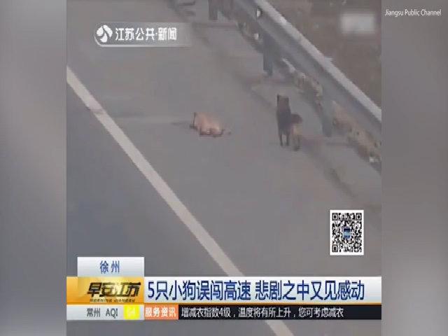 Chó không rời xác bạn bị đâm trên đường cao tốc Trung Quốc