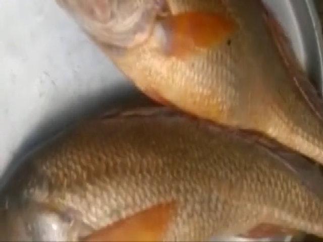 Bắt được hai con cá giống sủ vàng tỷ đồng ở sông Đồng Nai