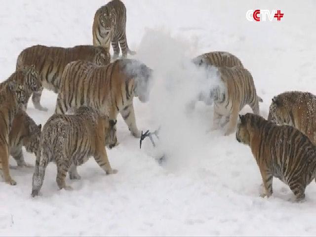 Đàn hổ Siberia phối hợp vồ máy bay không người lái
