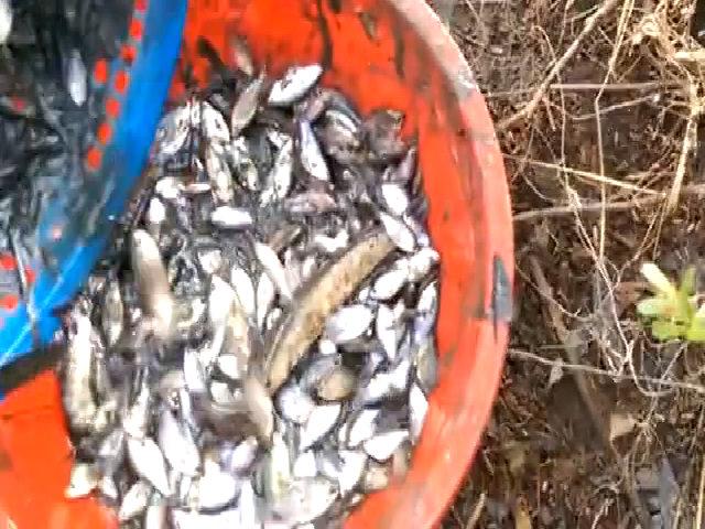 Hai cha con bắt trăm con cá 'trời cho' trong rãnh nước