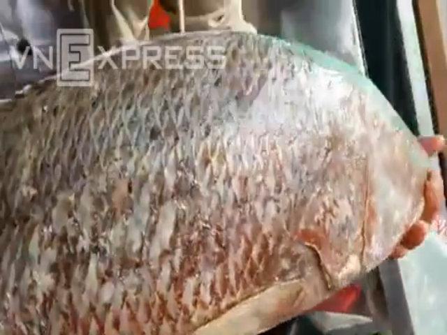 Bắt được cá nặng 7,5 kg như sủ vàng tiền tỷ ở Cà Mau