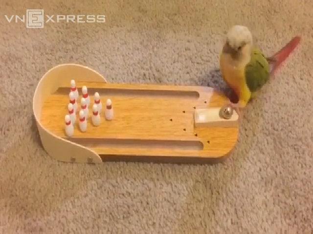 Chú vẹt chơi bowling thuần thục như người