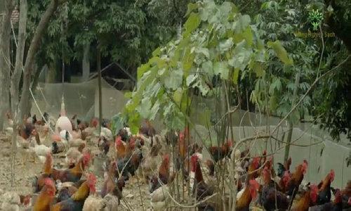 Chuỗi liên kết nuôi thả 36.000 con gà đồi tiêu chuẩn
