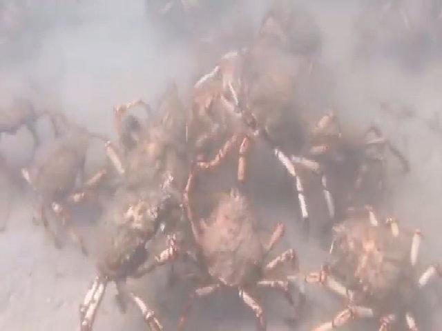 Cua nhện túm tụm xé xác bạch tuộc dưới đáy biển