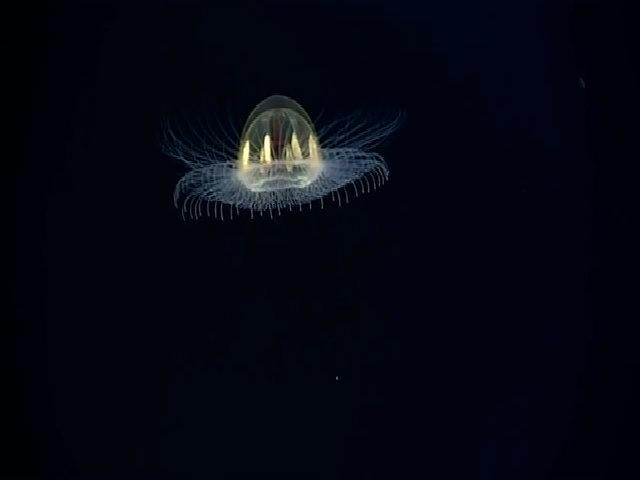 Sứa hình đĩa bay ở độ sâu 3.000 m dưới Thái Bình Dương