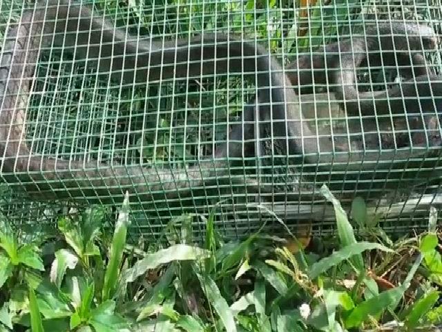 Bẫy rắn ráo dài 2 mét ở Tiền Giang