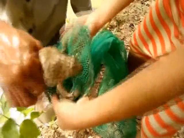 Cao thủ đào hang bắt hàng loạt ếch ở Sóc Trăng