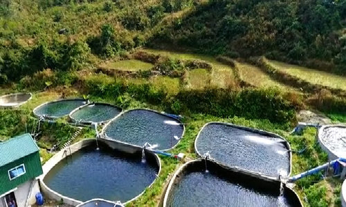 Sapa cung cấp khoảng 1.000 tấn cá hồi mỗi năm