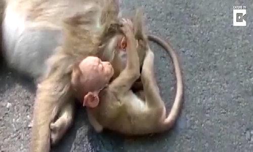 Khỉ con ôm chặt xác mẹ bị xe đâm trên đường cao tốc