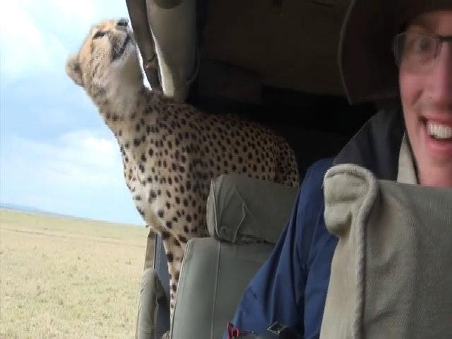 Báo đốm hoang dã nhảy vào xe chứa đầy người