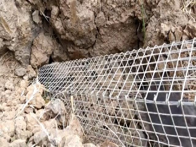 Bắt 9 con chuột cống nhum trong một cái hang