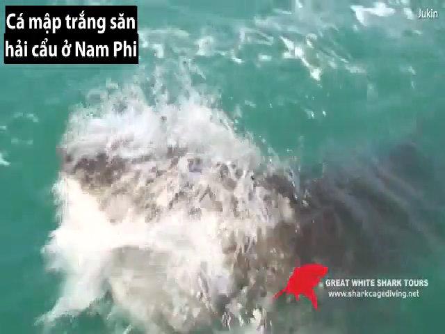 Cá mập trắng ngoạm ngang mình hải cẩu ngay trước thuyền câu