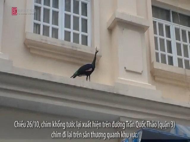 Người Sài Gòn vây bắt khổng tước quý hiếm