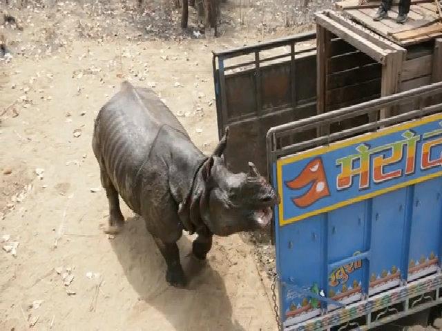 Tê giác giận dữ lao vào húc người trước khi về rừng