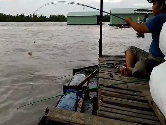 Cao thủ giật cá 'mỏi tay' vì câu trúng ổ cá chim trắng