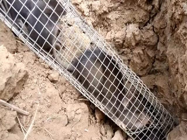 Bẫy được 9 con chuột nhum chỉ trong một cái hang