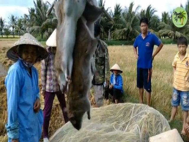Giăng lưới bắt chuột mùa gặt ở miền Tây