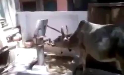 Chú bò thông minh tự bơm nước uống