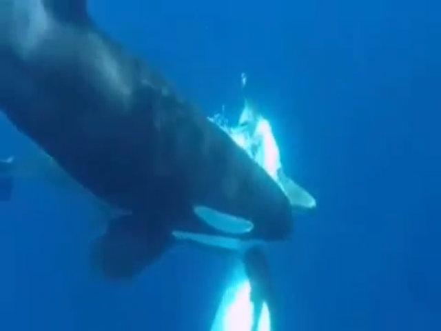 Đàn cá voi sát thủ tranh nhau xé xác cá mập đầu búa