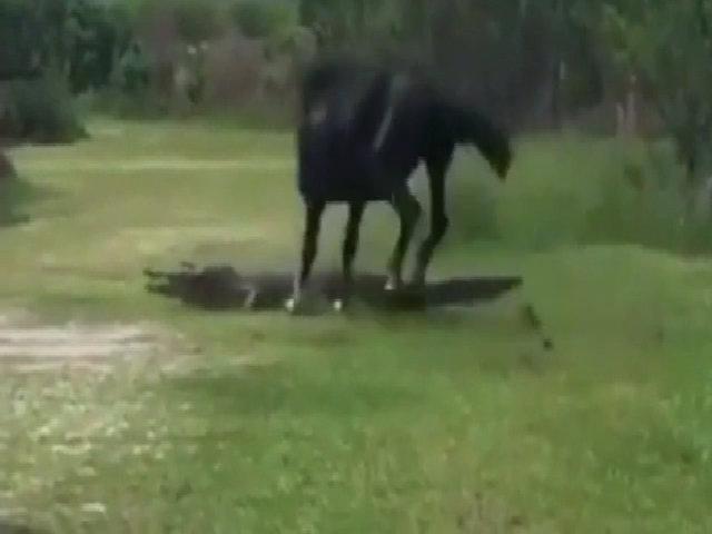 Ngựa đen suýt mất chân vì hung hăng tấn công cá sấu