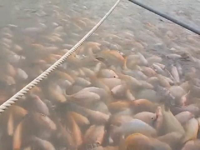 Hàng nghìn con cá điêu hồng vùng vẫy trong bè nước ở Hải Dương