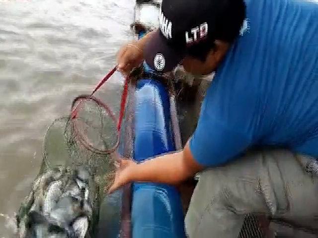 Câu được 16 kg cá chim trắng ở sông Tiền Giang