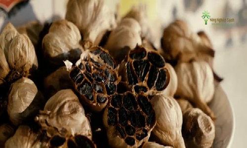 Nông dân Quảng Ninh áp dụng kỹ thuật làm tỏi đen từ Nhật Bản