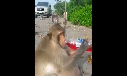 Khỉ béo tròn như quả bóng ở chợ nổi Thái Lan
