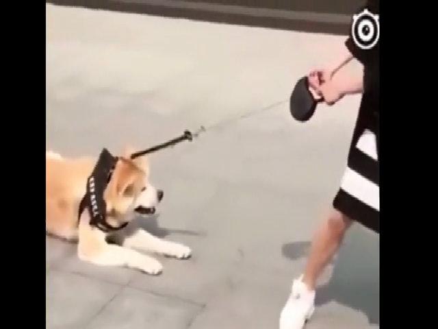 Cô chủ đầu hàng trước sự lười biếng của cún cưng