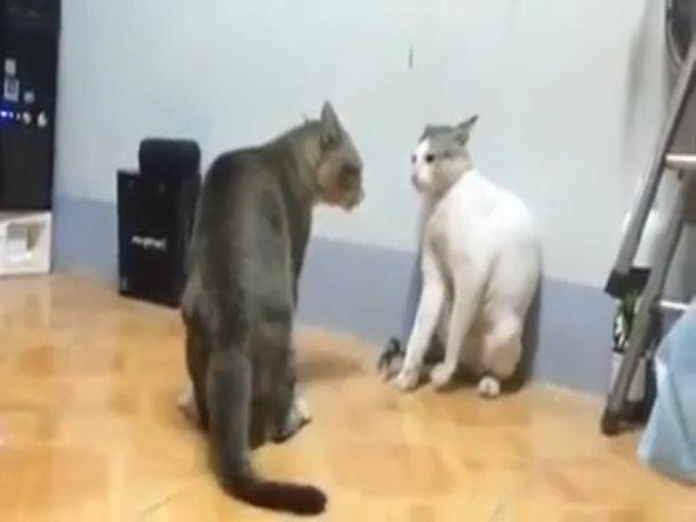 Hai cao thủ mèo đánh nhau như phim chưởng