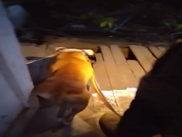Chó mẹ vượt 3 km dẫn người đến cứu đàn con